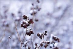 Scrub oak Royalty Free Stock Photo