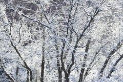 Scrub oak Royalty Free Stock Photography