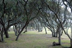 Scrub oaks. Line of scrub oak trees at Fort Fisher North Carolina royalty free stock photography