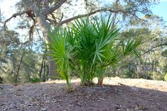 Scrub Palmettos in Southern Garden. Scrub palmetto plant commonly used in southern gardens and landscaping stock images