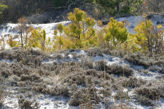 Scrub pine and heather in the dunes of Assateague. Stock Images