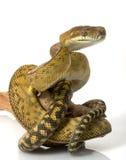 Scrub Python. (Morelia amethistina) isolated on white background Royalty Free Stock Image