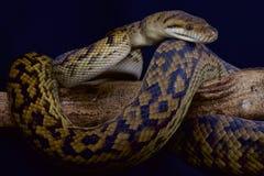 Scrub python  / Morelia kinghorni Royalty Free Stock Photos