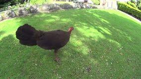 Scrub Turkey stock footage