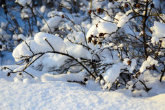 Scrub under the snow. Beautiful snowy day in nature Stock Photography