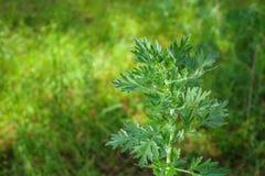 Scrub the young, silvery green herb -Artemisia absinthium stock photos