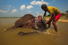 Scrubbing a baby Elephants Face in River Stock Photos