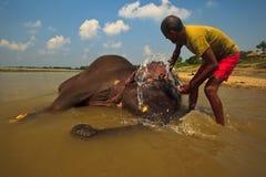 Scrubbing a baby Elephants Face in River Stock Photos