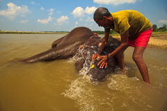 Scrubbing Behind His Elephant's Ears During Bath Stock Images