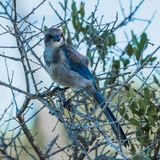 Scrubjay Smiling at the Camera Stock Images
