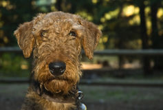 Scruffy airedale terrier dog head shot. Funny head shot portrait of a scruffy brown airedale terrier dog outdoors at dusk Royalty Free Stock Image