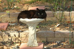 `Scruffy the Black Cat`. Scruffy, a long-haired Persian knock-off, with beautiful golden eyes and he loved to sit in the rose garden bird bath Stock Photography