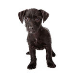 Scruffy black puppy standing Royalty Free Stock Photography
