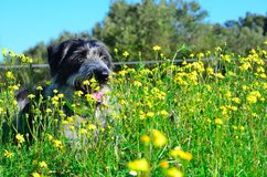 Black and white dog in flowers. Scruffy black and white dog lying in a field of yellow flowers Royalty Free Stock Images