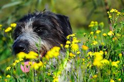 Black and white dog in head in flowers. Scruffy black and white dog lying in a field of yellow flowers close up of head Stock Image