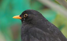 scruffy blackbird Fotografering för Bildbyråer