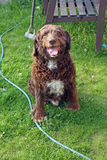 Scruffy brown dog. In the garden Royalty Free Stock Images