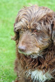 Scruffy brown dog Stock Image