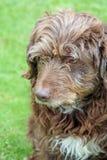 Scruffy brown dog. Scruffy brown pet dog in the garden Stock Image
