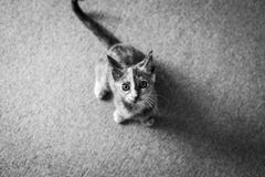 Scruffy Cat. Scruffy the kitten, looking up at the camera wanting to play Royalty Free Stock Photography