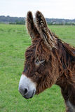 Scruffy Chocolate Donkey Royalty Free Stock Photo