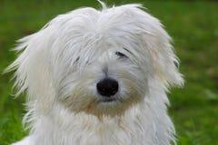 Scruffy Coton de tulear puppy. Young cheeky Coton de Tulear puppy peeking through wind blown hairdo with one eye royalty free stock photography