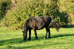 Scruffy dark brown horse grazing in a field. royalty free stock photos