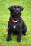 Scruffy dog. Black scruffy terrier dog looking up, sitting, full body Royalty Free Stock Photo
