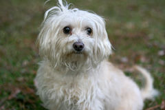 Scruffy Dog. A scruffy white poodle terrier mix dog Royalty Free Stock Image