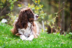 Scruffy dog. Scruffy english springer spaniel dog outdoors on green grass Stock Images