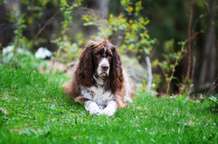 Scruffy dog. Scruffy english springer spaniel dog outdoors on green grass Royalty Free Stock Photo