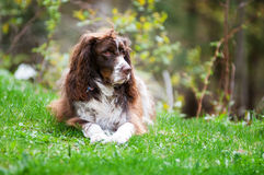 Scruffy dog. Scruffy english springer spaniel dog outdoors on green grass Stock Image