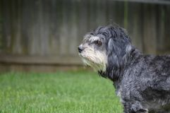 Scruffy Dog. In fenced in back yard Royalty Free Stock Photography
