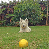 Scruffy dog and lemon. Scruffy west highland white terrier (westie) dog staring at a lemon in a back yard garden, with a lemon tree and ferns in the background Royalty Free Stock Photography