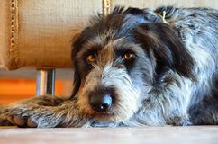 Scruffy dog lying down. A scrufffy dog lying down close up of head and front Royalty Free Stock Photos