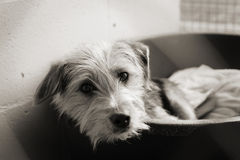 Scruffy dog in a pen. Homeless animals series. Sad looking scruffy dog looking out of his bed in his pen. Warm toned black and white image royalty free stock photography