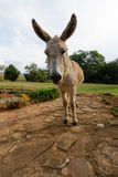 Scruffy donkey. With his large ears Royalty Free Stock Photo