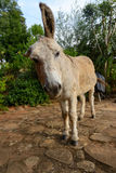 Scruffy donkey. With his large ears Royalty Free Stock Image