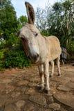 Scruffy donkey Royalty Free Stock Image