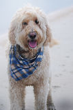 Scruffy, a Goldendoodle dog standing at St.Augustine Beach smiling with a scarf. Stock Images