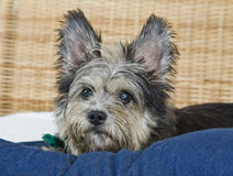scruffy gullig hund Royaltyfria Bilder