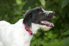 Scruffy happy dog tongue out panting Stock Images