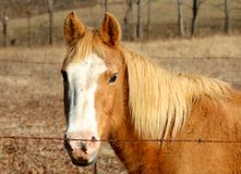 A Scruffy Horse grazes in a field Royalty Free Stock Photos