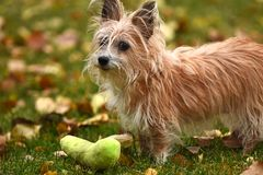 Scruffy Little Puppy. An image of a scruffy but cute little dog playing with a green dog toy in the autumn leaves royalty free stock photos