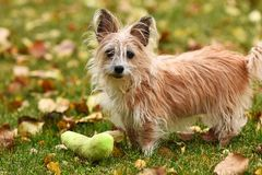 Scruffy Little Puppy. An image of a scruffy but cute little dog playing with a green dog toy in the autumn leaves royalty free stock photo