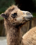 Scruffy Looking Camel Royalty Free Stock Image