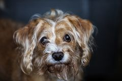 Scruffy Looking Dog. A scruffy dog that needs a hair cut royalty free stock photo