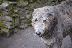 Scruffy Looking Irish Wolfhound Dog. Scruffy grey Irish wolfhound standing outside a castle in Ireland Royalty Free Stock Image