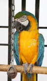 Scruffy Macaw. A slightly scruffy, blue & yellow macaw in captivity Stock Photos