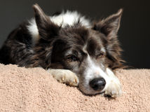 Scruffy Old dog. Scruffy old Border Collie trying to have a sleep Royalty Free Stock Photo